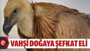 Nesli tükenmekte olan kızıl akbabaya Büyükşehir sahip çıktı