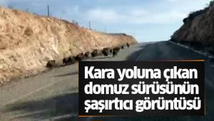 Kara yoluna çıkan domuz sürüsünün şaşırtıcı görüntüsü