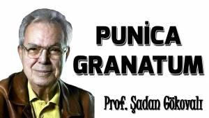 PUNİCA GRANATUM