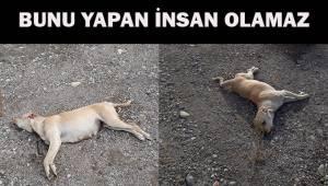 Sokak köpeği kulakları kesilip, gözlerine zarar verilerek telef edildi