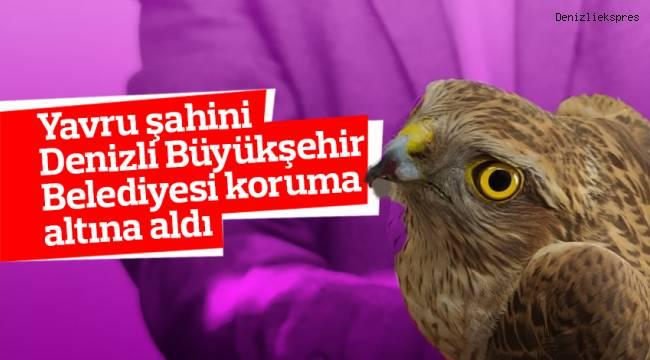 Yavru şahini Denizli Büyükşehir Belediyesi koruma altına aldı