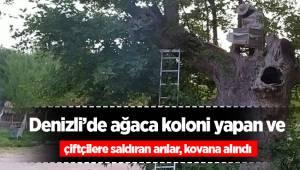 Denizli'de ağaca koloni yapan ve çiftçilere saldıran arılar, kovana alındı