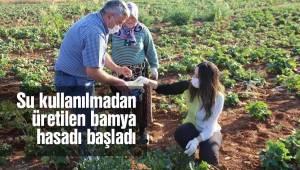 Su kullanılmadan üretilen bamya hasadı başladı