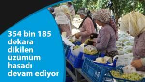 354 bin 185 dekara dikilen üzümüm hasadı devam ediyor