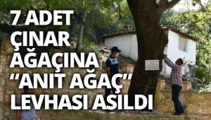 """Buldan'da asırlık 7 adet çınar ağacına, """"Anıt ağaç"""" levhaları asıldı"""