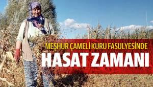 Meşhur Çameli kuru fasulyesinde hasat zamanı