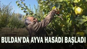 Buldan'da ayva hasadı başladı