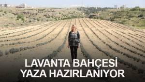 LAVANTA BAHÇESİ YAZA HAZIRLANIYOR