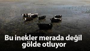 Bu inekler merada değil gölde otluyor