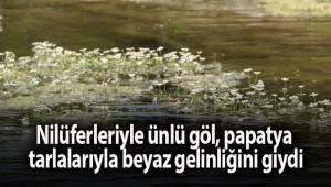 Nilüferleriyle ünlü göl, papatya tarlalarıyla beyaz gelinliğini giydi